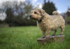 La Norfolk Terrier Immagine Stock Libera da Diritti