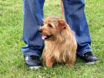 La Norfolk Terrier Fotografie Stock