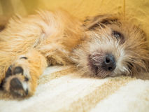 La Norfolk Terrier Photos stock