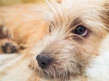 La Norfolk Terrier Fotografie Stock Libere da Diritti