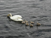 La Norvegia - famiglia del cigno su foraggiamento Immagini Stock