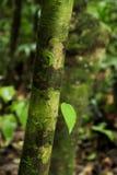 La nouvelle croissance orne la réservation biologique de Tirimbina du Costa Rica de tronc d'arbre photos stock