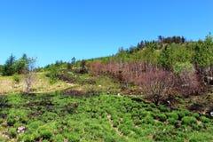 La nouvelle végétation s'élevant sur le flanc de coteau a brûlé par le feu Image libre de droits