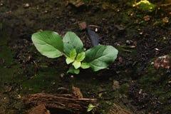 La nouvelle vie des légumes grandissants des graines et de la mousse Image libre de droits