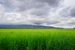 La nube negra cerca de la lluvia cae abajo en el campo del arroz Fotos de archivo libres de regalías