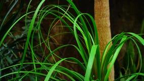 La nueva clase de palmera creció en las islas tropicales almacen de metraje de vídeo