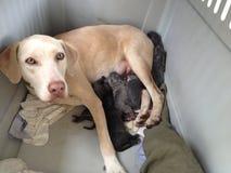 La nueva mezcla del laboratorio de la mamá Weimarmer/con sus perritos nuevamente llevados Imágenes de archivo libres de regalías