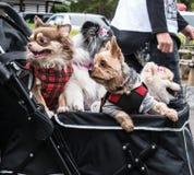 La nueva tendencia en los pares jovenes de Japón adopta los perros caseros y viaje con ellos todo alrededor en carros de bebé Imagen de archivo libre de regalías