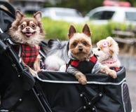 La nueva tendencia en los pares jovenes de Japón adopta los perros caseros y viaje con ellos todo alrededor en carros de bebé Foto de archivo libre de regalías