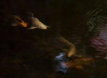 La nuit a tiré de petits jeunes poissons argentés blancs de la couleur KOI d'or jaune de longue queue Photographie stock libre de droits