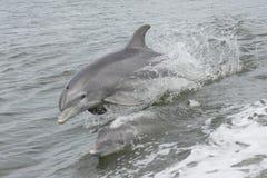 La nuotata dei delfini Immagini Stock