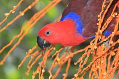 La Nuova Guinea rosso-ha parteggiato pappagallo di eclectus fotografie stock