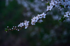La nuova prugna fiorisce l'albero Immagini Stock Libere da Diritti