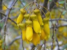 La Nuova Zelanda: fiore giallo indigeno di kowhai Immagini Stock