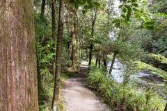 La Nuova Zelanda Forest Path Through Rimu Trees fotografie stock libere da diritti