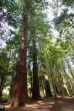 La Nuova Zelanda, il distretto di Rotorua, foresta della sequoia Immagini Stock Libere da Diritti