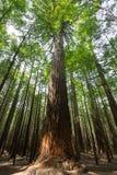 La Nuova Zelanda, il distretto di Rotorua, foresta della sequoia Immagine Stock Libera da Diritti