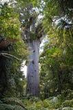 La Nuova Zelanda, mahuta del tane dell'albero del kauri Immagini Stock Libere da Diritti