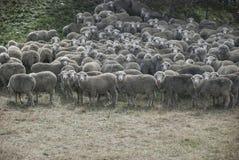 La Nuova Zelanda, pecora merino Immagine Stock Libera da Diritti