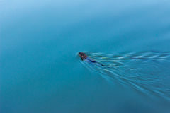 La nutria flota en negocio Imagenes de archivo
