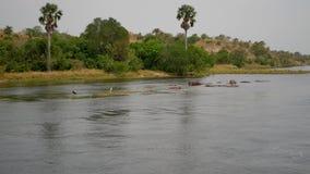 La opinión aérea hipopótamos africanos salvajes descansa y duerme en el río cerca de costa tropical metrajes