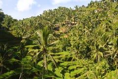 La opinión aérea imponente del abejón del paisaje tropical de la isla hermosa de Bali con la selva de las palmeras y el arroz col fotografía de archivo
