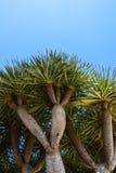 La opinión de ángulo bajo Dragon Tree, Dragoeiro de Oporto Santo, Madeira también encontró en Cabo Verde imagenes de archivo