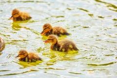 La opinión de color vibrante de la ciudad joven ducks la flotación en verano verde Fotografía de archivo libre de regalías