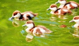 La opinión de color vibrante de la ciudad joven ducks la flotación en verano verde Fotos de archivo libres de regalías