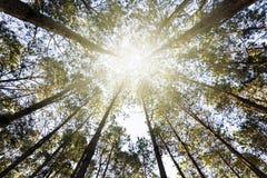 La opinión de la hormiga mira para arriba en árbol de pino Foto de archivo