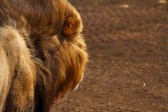 La opinión del león Fotos de archivo libres de regalías