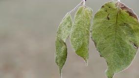 La opinión del primer de hojas congeladas verdes está extremadamente tiembla en el viento en día de invierno almacen de metraje de vídeo
