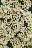 La opinión del primer desde arriba de la uva de gato blanco-rosada florece Sedum s fotos de archivo
