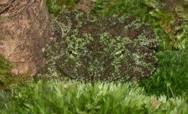 La opinión hipnótica Tonkin insecto-observó la rana Fotografía de archivo libre de regalías