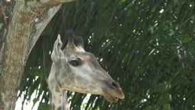 La opinión lateral del perfil de giraffe's dirige - 4k almacen de video