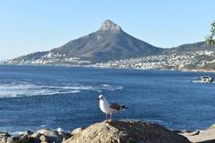 La opinión los leones dirige con una gaviota en frente en Cape Town, Suráfrica Fotografía de archivo libre de regalías