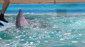 La opinión parcial el instructor de sexo masculino que toca el delfín con su pie en la aguamarina muestra almacen de video