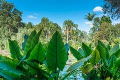 La opinión sobre el campo con colocasias del canal de las palmeras se va Foto de archivo libre de regalías