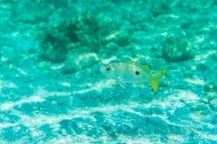 La opinión subacuática impresionante los pescados de la caballa enseña la alimentación en el plancton bajo superficie del Mar Roj Fotos de archivo