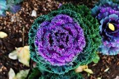 La opinión superior sobre la coliflor verde y púrpura en el fondo con las hojas de otoño Fotografía de archivo