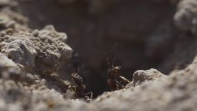 la opini?n macra 4k una colonia de hormigas en jerarqu?a, forrajean el trabajo juntas Tiro estupendo del primer de la puesta del  metrajes