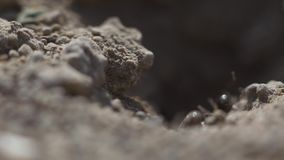 la opini?n macra 4k una colonia de hormigas en jerarqu?a, forrajean el trabajo juntas Tiro estupendo del primer de la puesta del  almacen de metraje de vídeo