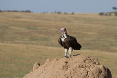 La orejera hizo frente al buitre en la colina de la termita. Imagen de archivo libre de regalías