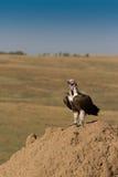 La orejera hizo frente al buitre en la colina de la termita. Fotos de archivo libres de regalías