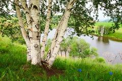 La orilla del lago del abedul de plata Fotografía de archivo libre de regalías