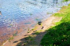 La orilla del río con las palomas foto de archivo