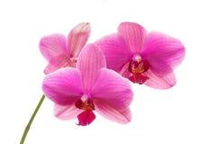 La orquídea Fotos de archivo libres de regalías