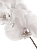 La orquídea Fotografía de archivo libre de regalías