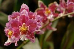 La orquídea amazónica Fotos de archivo libres de regalías