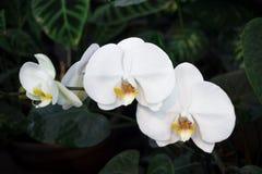 La orquídea blanca florece en una rama, en un jardín, contra un fondo verde Fotos de archivo